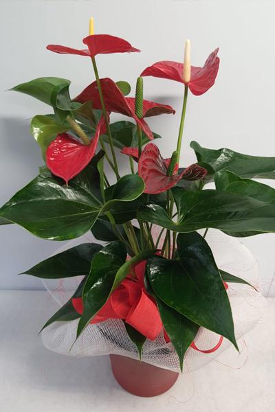 Pianta San Valentino